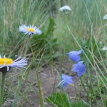 asters and harebells