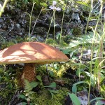 big brown mushroom from side
