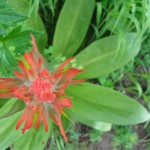 Indian paintbrush orange