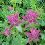 indian paintbrush pink