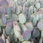 Purple and green prickly pears