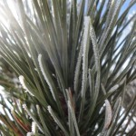 pine-tree-frost