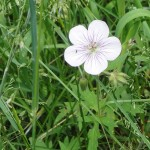 09-richardsons-geranium